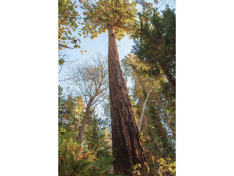Millennium-Park-Trees-Douglas-Fir